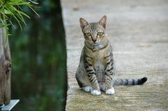 El mirar fijamente gris del gato Imágenes de archivo libres de regalías