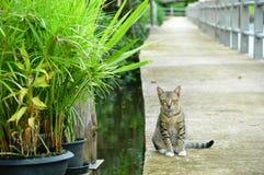 El mirar fijamente gris del gato Fotografía de archivo