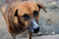 El mirar fijamente triste del perro Fotografía de archivo libre de regalías