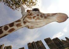 El mirar para arriba la jirafa Fotografía de archivo