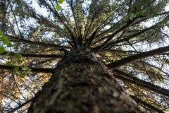 El mirar para arriba las ramas de árbol de pino Foto de archivo libre de regalías