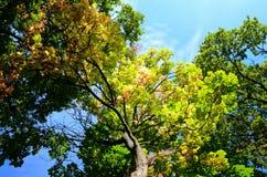 El mirar para arriba los árboles de castaña en otoño imagenes de archivo