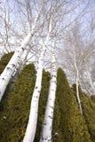 El mirar para arriba los árboles del álamo temblón. Foto de archivo