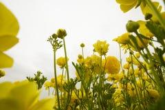 El mirar para arriba el ranúnculo amarillo floreciente florece en un campo Foto de archivo libre de regalías