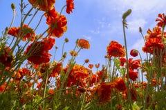 El mirar para arriba el ranúnculo anaranjado floreciente florece en un campo Imagen de archivo