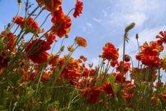 El mirar para arriba el ranúnculo anaranjado floreciente florece en un campo Foto de archivo