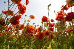 El mirar para arriba el ranúnculo anaranjado floreciente florece en un campo Foto de archivo libre de regalías