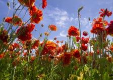 El mirar para arriba el ranúnculo anaranjado floreciente florece en un campo adentro Imágenes de archivo libres de regalías