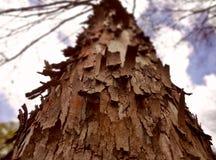 El mirar para arriba un árbol de abedul en un bosque Imagen de archivo libre de regalías