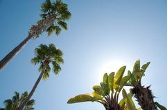 El mirar para arriba un árbol de plátano contra el sol Foto de archivo
