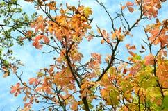 El mirar para arriba un árbol de castaña en otoño Imagen de archivo libre de regalías