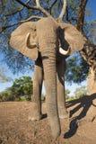 El mirar para arriba un toro del elefante africano Fotografía de archivo libre de regalías
