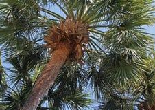 El mirar para arriba una palmera Foto de archivo libre de regalías