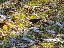 El mirlo camina entre follaje del ` s del año pasado e hierba de la primavera Parque reservado de la ciudad provincial Alfombra d Imágenes de archivo libres de regalías