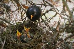 El mirlo en la jerarquía con los pájaros de bebé hambrientos Fotografía de archivo libre de regalías