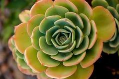 El modelo de fascinación de un Aeonium suculento ¿Desierto Rose? Imagen de archivo libre de regalías