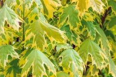 El modelo de hojas de arce Foto de archivo libre de regalías