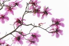 El modelo de ramas sin las hojas pero con mucha magnolia floreciente del rosa hermoso florece en blanco imágenes de archivo libres de regalías