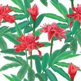 El modelo inconsútil tropical con el jengibre rojo de la antorcha florece y las hojas en el fondo blanco Fotografía de archivo