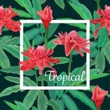El modelo inconsútil tropical con el jengibre rojo de la antorcha florece y las hojas en fondo oscuro Imagen de archivo libre de regalías