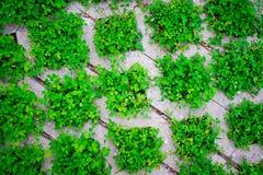 El modelo, las malas hierbas verdes llena las baldosas de colocación Foto de archivo libre de regalías
