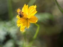 El momento agradable de la abeja que ase el polen en el flo amarillo Fotos de archivo libres de regalías