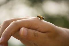 El momento de una abeja de la miel a mano Foto de archivo libre de regalías