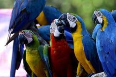El momento que se besa dulce de Azul-y-oro con el macaw b de Harliquin Foto de archivo