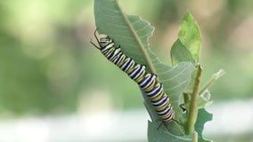 El monarca Caterpillar que come el Milkweed planta