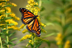 El monarca de mariposas Imagen de archivo libre de regalías