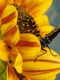 El monarca y el girasol foto de archivo