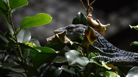 El monitor o el azul azul del árbol manchó el lagarto del macraei del monitor o del varanus del árbol metrajes
