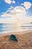 El monje hawaiano Seal descansa sobre la playa en la puesta del sol en Kauai, Hawaii Foto de archivo libre de regalías