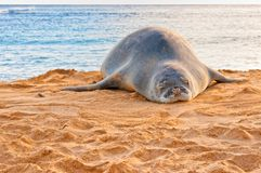 El monje hawaiano Seal descansa sobre la playa en la puesta del sol en Kauai, Hawaii Imagen de archivo libre de regalías