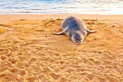 El monje hawaiano Seal descansa sobre la playa en la puesta del sol en Kauai, Hawaii Foto de archivo