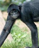 El Monkeying alrededor Imagenes de archivo