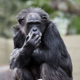El Monkeying alrededor Foto de archivo