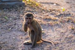 El mono Imagenes de archivo