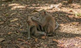 El mono adulto prepara el mono del niño imagen de archivo