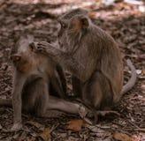 El mono adulto prepara el mono del ni?o foto de archivo