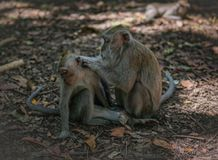 El mono adulto prepara el mono del ni?o imágenes de archivo libres de regalías