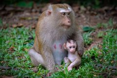 El mono adulto se sienta en la tierra con su pequeño bebé lindo foto de archivo