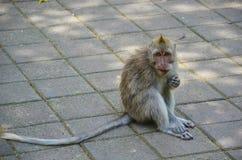 El mono alto de la cola Imagen de archivo libre de regalías