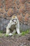 El mono barbary mastica una hierba Imagen de archivo