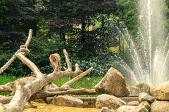 El mono camina en rama por el agua Foto de archivo