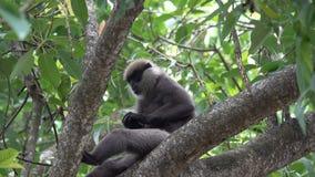 El mono come la fruta seca en un árbol en las selvas almacen de video