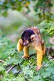 El mono de ardilla boliviano ha dormido imagenes de archivo
