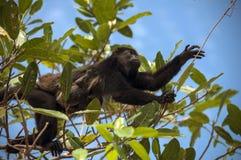 El mono de chillón de la madre lleva al bebé a través de árboles Foto de archivo