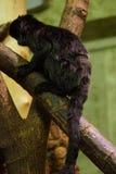 El mono de Goeldi - goeldii de Callimico Fotografía de archivo