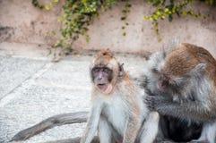 el mono de la madre para rasguñar su piojo del hallazgo del bebé Foco suave Foto de archivo